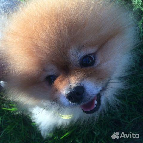 Купить щенка собаки померанский шпиц в павловском посаде - страница 2