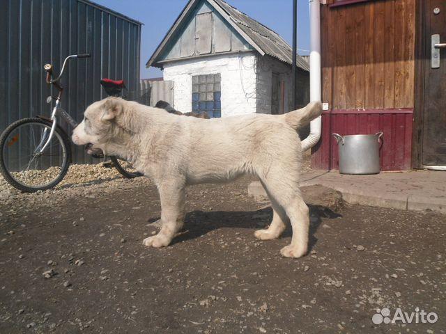 Продам немецких овчарок
