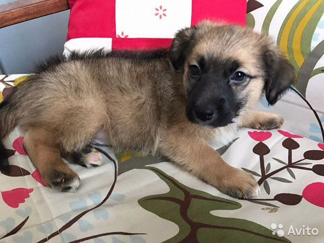 Щенок маленькой комнатной собачки в разделе: домашние животные, собаки (объявление 5936174)