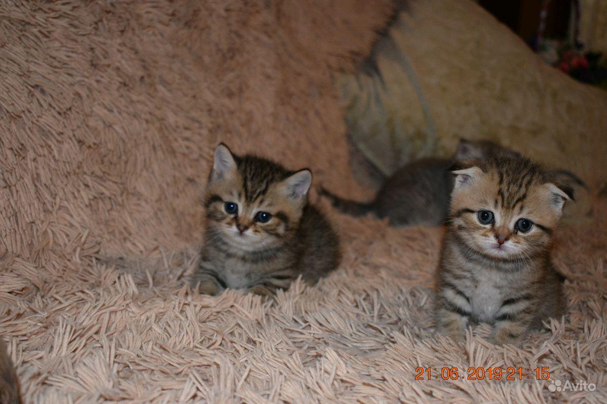 Шотландские котята в Пензе - фотография № 4