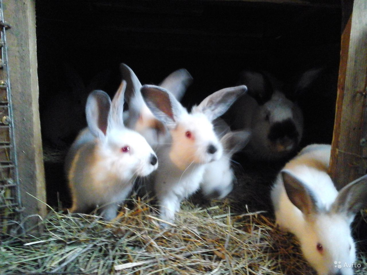 Нзк кролик фото в кемеровской области