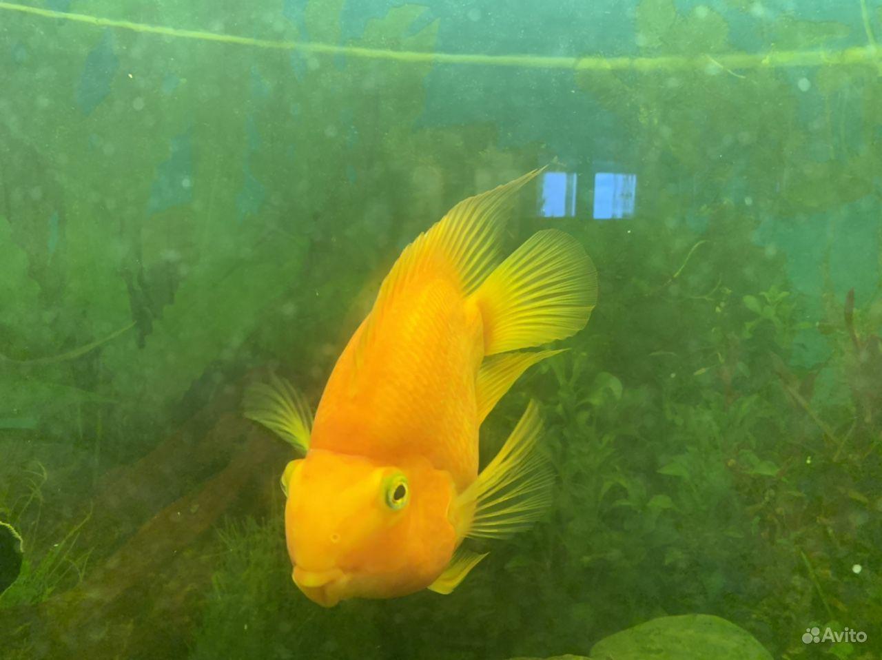 Рыба попугай купить на Зозу.ру - фотография № 2