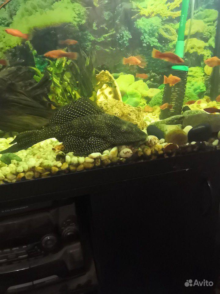 Продам рыбок купить на Зозу.ру - фотография № 8