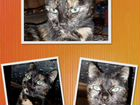 Кошка Лайма ищет дом