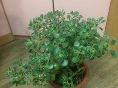 Аихризон или дерево любви