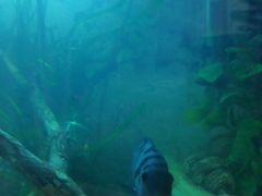 Рыба чернополосая цихлоза