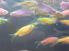Рыбаданио GLO fish - светящиеся, флуоресцентные