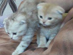 Продам Шатландских котят 2000 т