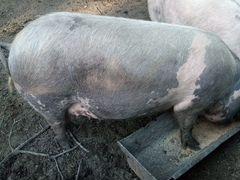 Продаю поросных свиноматок, первый раз покрытые