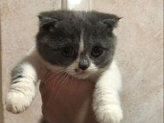 Шотландский бархатный серо-белый котёнок