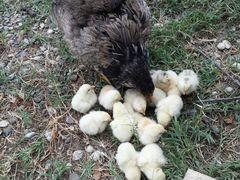 Курица с 14 цыплятами