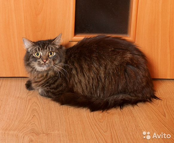 Камышовый кот авито купить