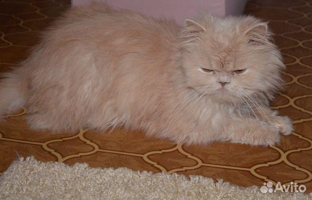 Персидский кот купить авито