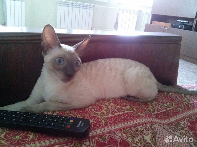Кота для вязки корниш рекса