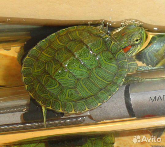 Красноухая черепаха казань купить