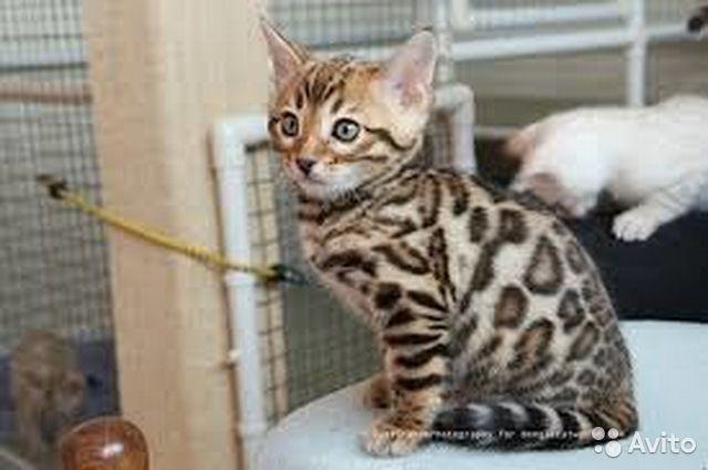 Bengal kittens for sale ny