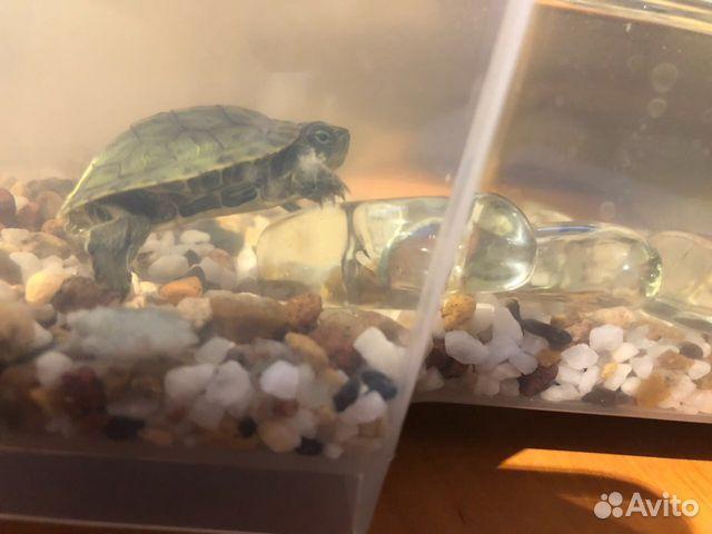 Клоака у красноухих черепах