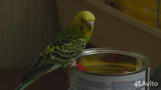 Волнистый попугай плохо ест
