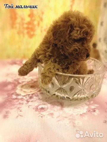 Высокопародные щенки Той пуделя РКФ купить на Зозу.ру - фотография № 4
