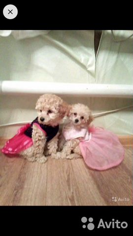Toy poodle 89521893030 buy 3