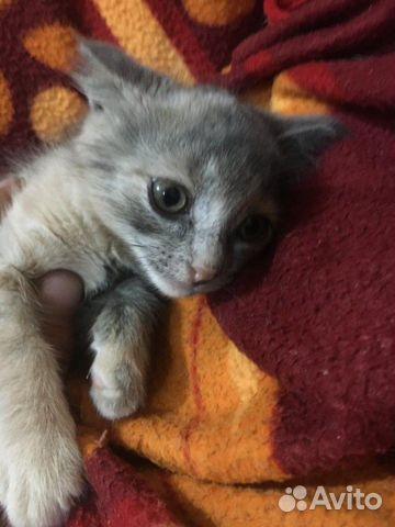 Отдадим бесплатно Шотландских котят  89888622587 купить 2