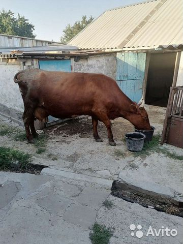 Продаю корову  купить 4