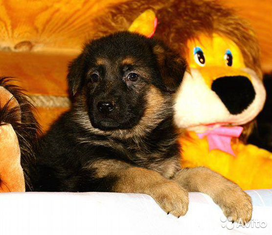 German shepherd  buy 2