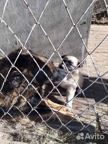 Собака  89608426506 купить 2