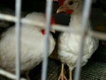Яйцо инкуб.миниЛеггорн В33 и карлик Леггорн П11