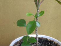 Драцена и мурайя в одном горшке — Растения в Саратове