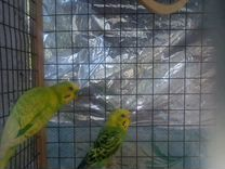 Семья волнистых попугаев