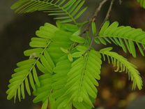 Тамаринд (взрослые растения)