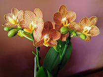 Орхидея фаленопсис Little Zorro