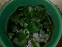 Нимфея водяная лилия
