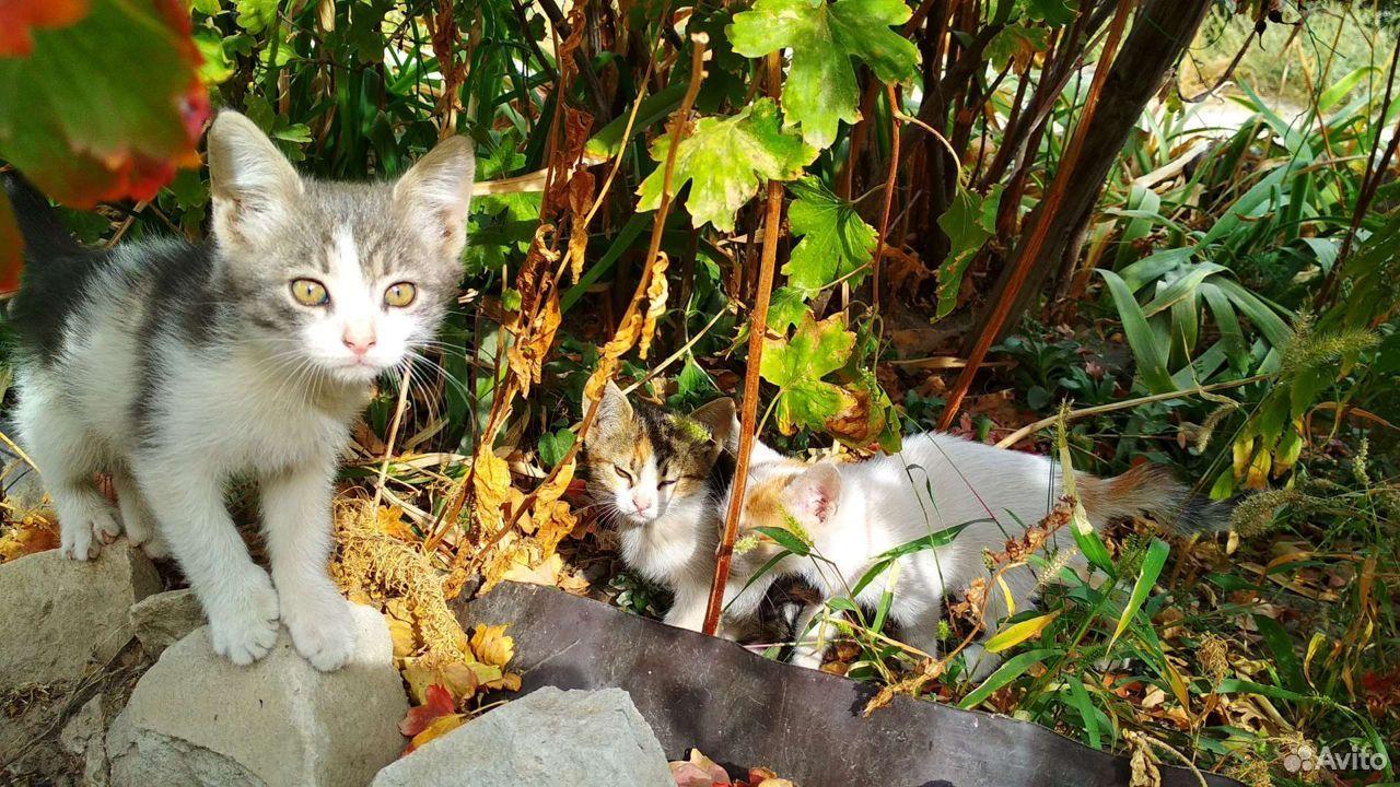 Котята, 5 очаровашек  89173308243 купить 3