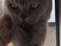 Кошечка-британка ласковая бесплатно красивая