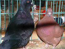 Птенцы голубей подрощенные