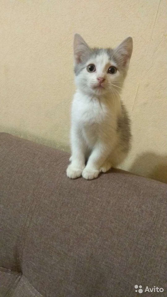Отдам котенка в добрые руки  89990777484 купить 2