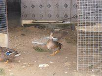 Подсадные утки — Птицы в Москве