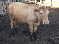 Продам телок, коров, телят