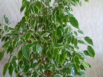 Фикус Бенджамина (пестролистный) — Растения в Рязани